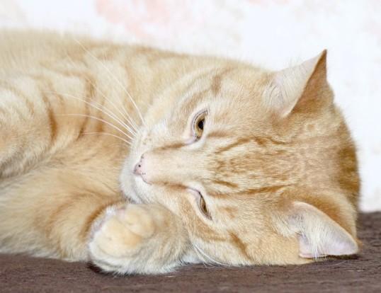 Що робити, якщо у кішки пронос