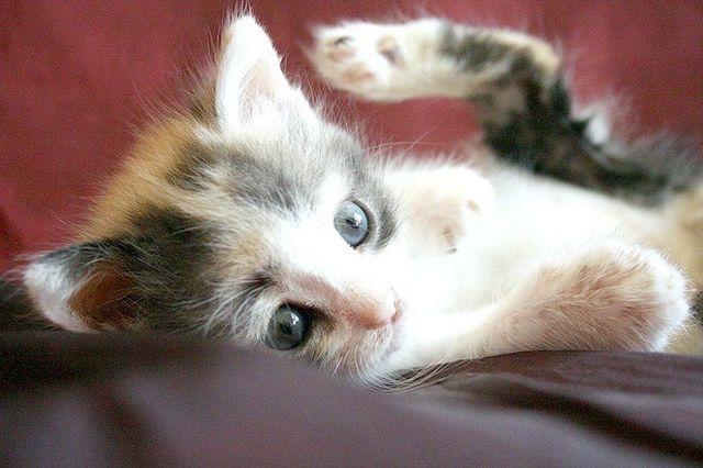 як вивести бліх у кошеняти в домашніх умовах