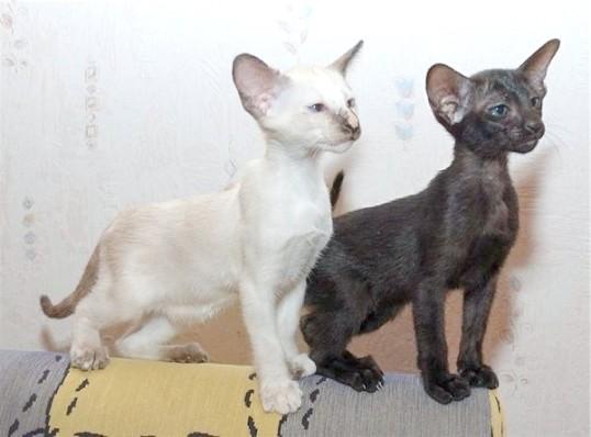 як доглядати за орієнтальної кішкою