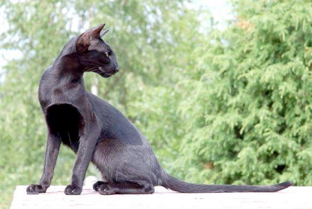 як вибрати кошеня Орієнтал