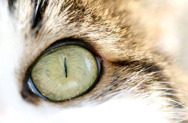 для загоєння рани очі у кота