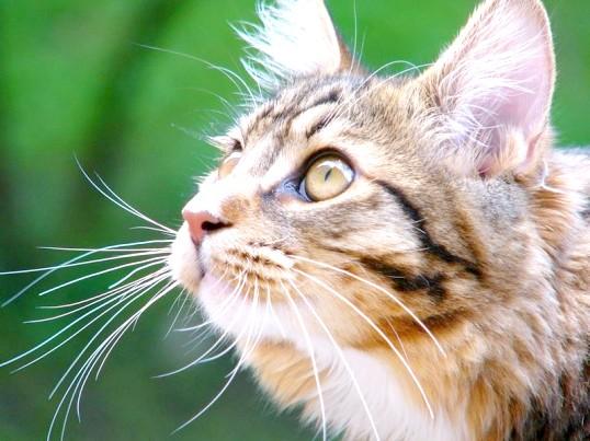 кашель у кошенят