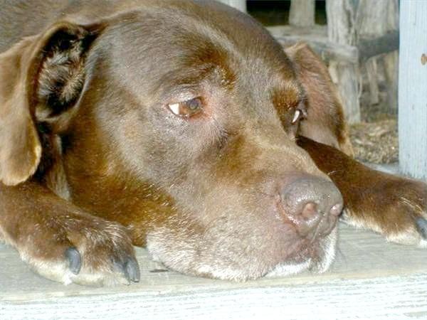 Як лікувати блювоту у собак