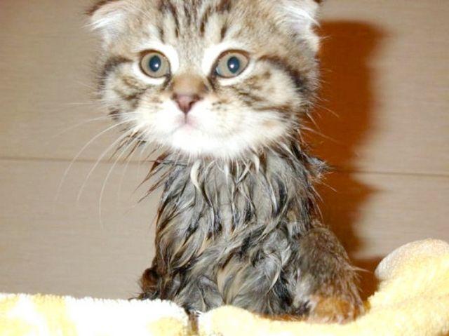 Як мити маленького кошеня