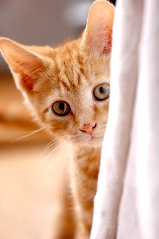 як почистити маленькому кошеняті вуха