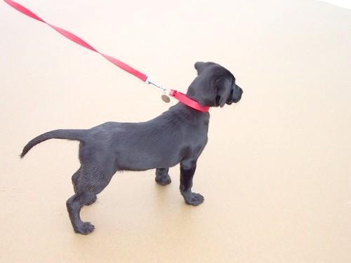 Як привчити собаку ходити поруч