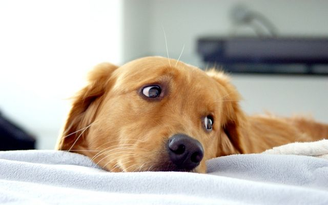 як визначити якої породи собака
