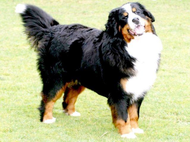 порода собак найдобріша