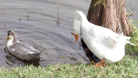 чим відрізняється гусак від качки