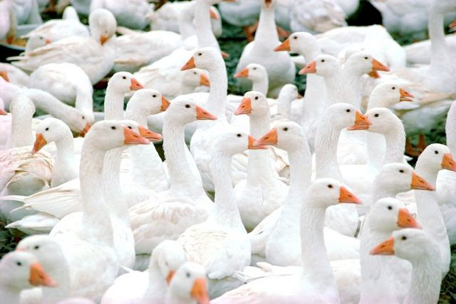 чим годувати гусей влітку
