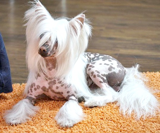 Як вибрати цуценя китайського чубатого собаки