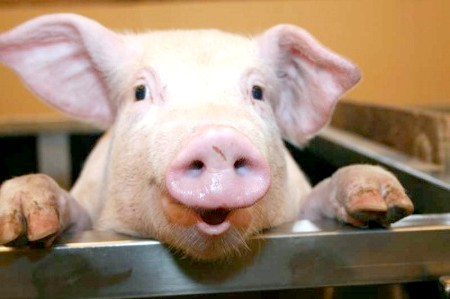 можна годувати свиню кислим їжею?