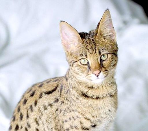Як взяти аналіз сечі у кота