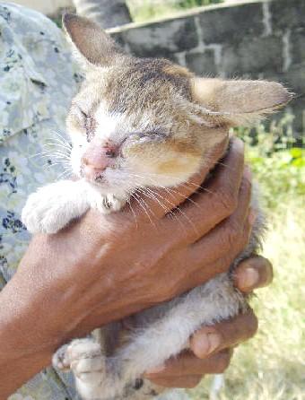 як витягнути кліща у кота з вуха