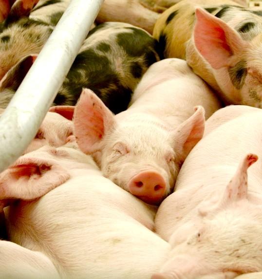 Як виростити свиню