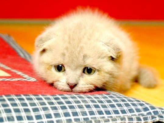 Як лікувати пронос у кота