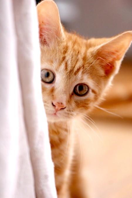 як чистити кішкам вуха