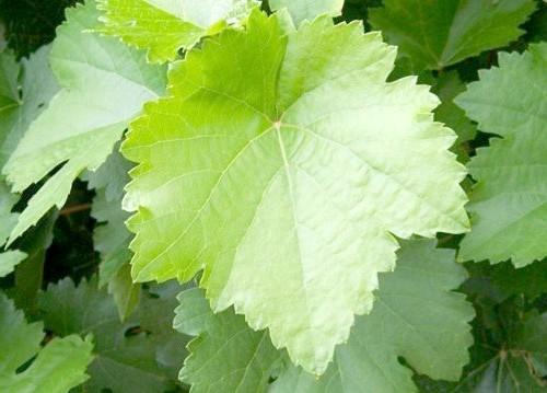 Як маринувати виноградне листя