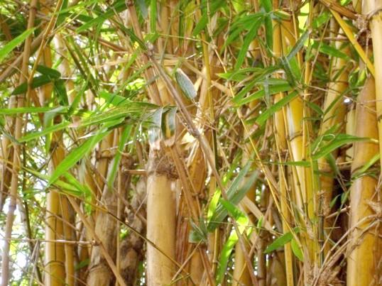Як розводити бамбук