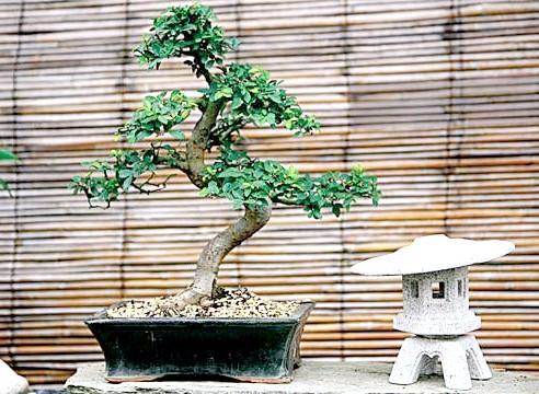 Як виростити бонсай з дуба