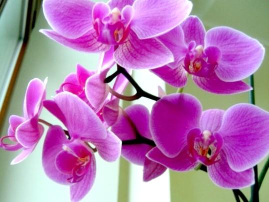 Чому жовтіє орхідея