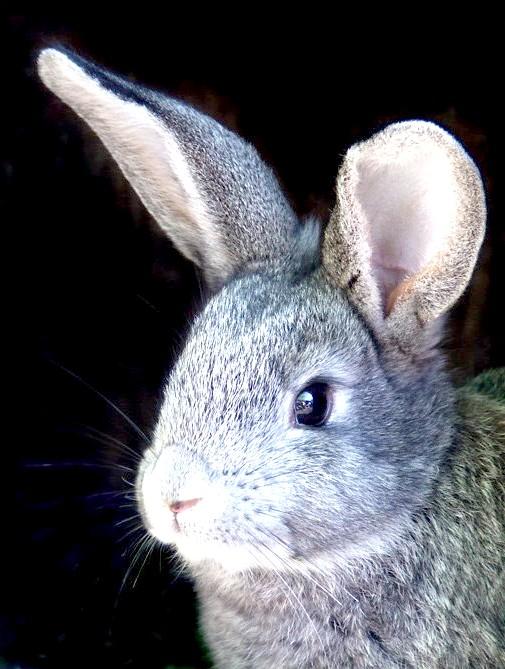 Як виробляти кролячі шкури